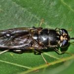 Mengenal penggunaan larva Black Soldier Fly pada berbagai jenis sampah organik