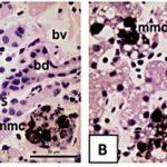 Farmakokinetika Herbisida Clomazone